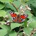 schöner Schmetterling im Bayerischen Wald, evtl ein Pfauenauge?