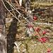 Die roten Beeren des Mehlbeerbaums Sorbus aria)