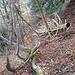 <br />Gleich links des liegenden Baumgerippes geht es ein paar Meter hinunten (besser als auf den Spuren, die sich noch etwas weiter links ausmachen lassen).