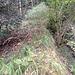 Weiter oben werden die Eiben abgelöst durch lichtere Stellen mit (Pfeifen-)gras, Stechpalmen, Mehlbeeren, Föhren etc.