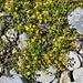 Alpen-Mauerpfeffer und zierliche Glockenblumen