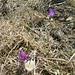 Wilde Frühlings-Krokusse (Crocus vernus) auf dem Regenflüeli. Beide Farben sind von der gleichen Spezies, es sind interessanterweise nur Varianten!