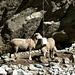 Valjouffrey, le pain de sel a du succès auprès des moutons...