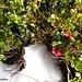 Selbst tiefgefrorene ☺ Preiselbeeren finden sich noch im Weittal