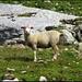 Das hier ist ein <b>indisches Schaf!</b> Der rote Punkt auf der Stirne bedeutet, dass es glücklich verheiratet ist!
