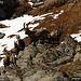 Stambecchi nei pressi del Laghetto Grande della Miniera