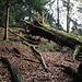 Von der Jucheggstrasse aus muss man sich zunächst durch Unterholz und Altholz zum Kamm der Rippe vorkämpfen: ein paar Minuten, dann beginnt der Pfad so richtig.