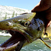 A trout in that size is a top-predator and feeds on smaller fish (often it's own species!) up to about 20cm (6'). <br />I let that one swim again, since its way too much to eat for a single trekker...