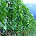 Bald sind sie reif, die Trauben des Maienfelder Weins. Im Hintergrund der Falknis