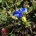 Frühlings-Enzian - im Herbst