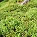 Überall Heidelbeeren bei Bodmi