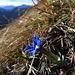 Frühlingsenzian am Grat / Genziana verna in cresta