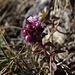 Sandthymian (Thymus serpyllum) auf 2000 m Ende November