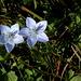 Unterwegs bei Laza - Viele Blumen entdecken wir Mitte August zwar nicht mehr. Zwei kleine Blüten finden wir dann aber doch noch. Vor den Schafen ...