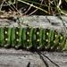 Raupe: Kleines Nachtpfauenauge (Saturnia pavonia)