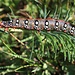 larva della sfinge dell'euforbia (Hyles euphorbiae)
