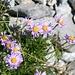 und die Alpenastern bringen immer wieder reizvolle Farben in die Landschaft