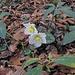 """""""Helleborus niger subsp. macranthus"""" - Grossblütige Christrose. Ein Endemit, der im Tessin und in den Bergamasker Alpen vorkommt. Blüht vom Dezember bis Ende April."""