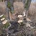 Biber sorgen hier für Baumfällaktionen