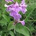 wohl ein Heilziest - eine der großen, dominierenden Pflanzen der Bergmatten