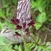 vermutlich ein Läusekraut (Pedicuaris sp.)