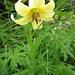 herrliche gelbe Feuerlilie