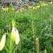 Fülle von Feuerlilien