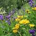 ein Blumentraum mit Glockenblume, Eisenhut und Gamswurz (?)