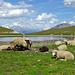 Obre Rossusee. Auch die Schafe geniessen es....