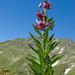 Im Juli am Weg zur Nanzlicke: Türkenbundlilie (Lilium martagon)
