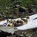Schafe im kühlenden Schnee