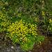 Bewimperter Steinbrech (Saxifraga aizoides)