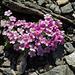 Schon lange nicht mehr gesehen: Alpen-Mannsschild (Androsace alpina)