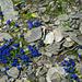 Farbtupfer im Geröll. Bayrischer Enzian (Gentiana bavarica)