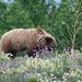 Ein junger Grizzly beim vielfarbigen Frühstück