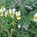Blumengruss am Wegesrand (wildes Veilchen)