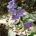 Abstieg von Launc - Nesselblättrige Glockenblume (Campanula trachelium L.)