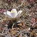 È primavera! (Anemone -  Pulsatila vernalis)