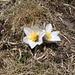 Anemone (Pulsatila vernalis)