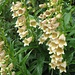 Fingerhut - wahrscheinlich Digitalis grandiflora