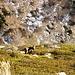 Die Gämsen geniessen den milden Winter. Es sind ganze Rudel an den besonnten Hängen bis auf 1900 Meter anzutreffen.