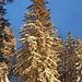 Abendlicht beim Anstieg zum Rotwandhaus - die schneebedeckte Fichte mausert sich zu einem richtigen Weihnachtsbaum.