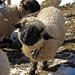 die  Schwarznasenschafe unseres Nachbarn haben genug Wolle auch für kalte Tage