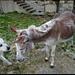 Meeting mit einem Esel.