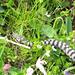 Unsere Viper auf der Flucht, vielleicht kennt ja auch einer die Unterart (Kreuzotter?)