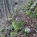 ... welche im steilen Waldhang - mit vielen Hirschzungen - anstrengend zum offiziellen, aktuellen, Wanderweg leitet