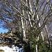 ob der Ochsenalp beginnt eine herrlicher Buchenhain, mit Stechpalmen mit roten Beeren