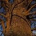 Der Wind wurde gegen Sonnenuntergang immer kälter, aber die Rinde des Baumes war noch schön warm.<br /><br />Il vento è diventato sempre più freddo al tramonto. Ma la corteccia dell`albero era ancora molto calda.