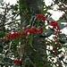 Farbtupfer beim Abstieg vom Roten: rote Beeren der Stechpalme