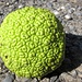 Who knows the name of this fruit - from a tree in Turkmenistan?